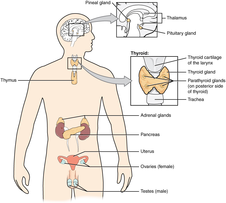 An Overview Of The Endocrine System Anatomy And Physiology