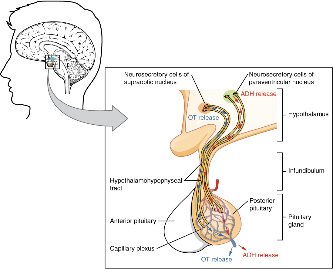 The Pituitary Gland And Hypothalamus  U00b7 Anatomy And Physiology