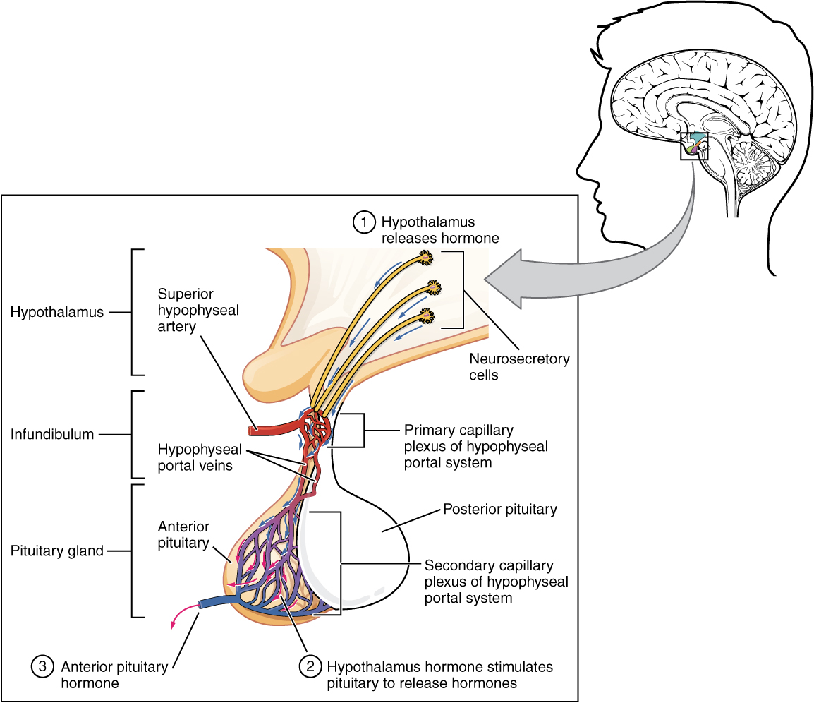 The Pituitary Gland and Hypothalamus · Anatomy and Physiology