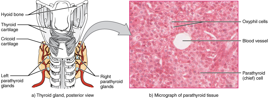 The Parathyroid Glands Anatomy And Physiology