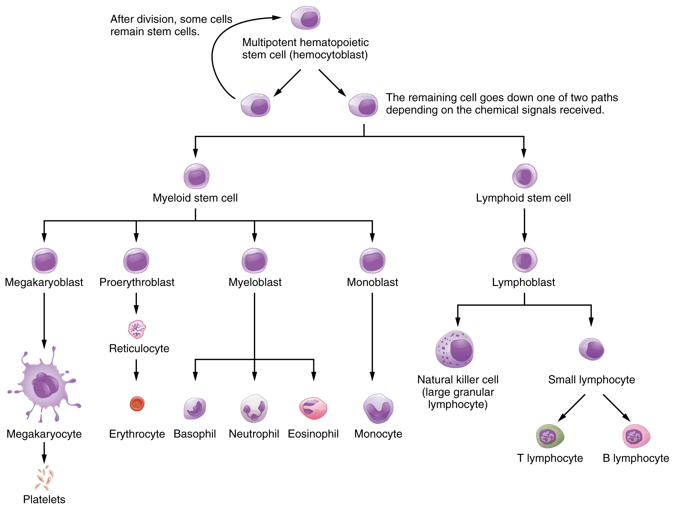 describe the normal process of cell Cell injury, cell death, and adaptations death is also a normal and essential process in embryo-genesis, the development of organs, and the maintenance.