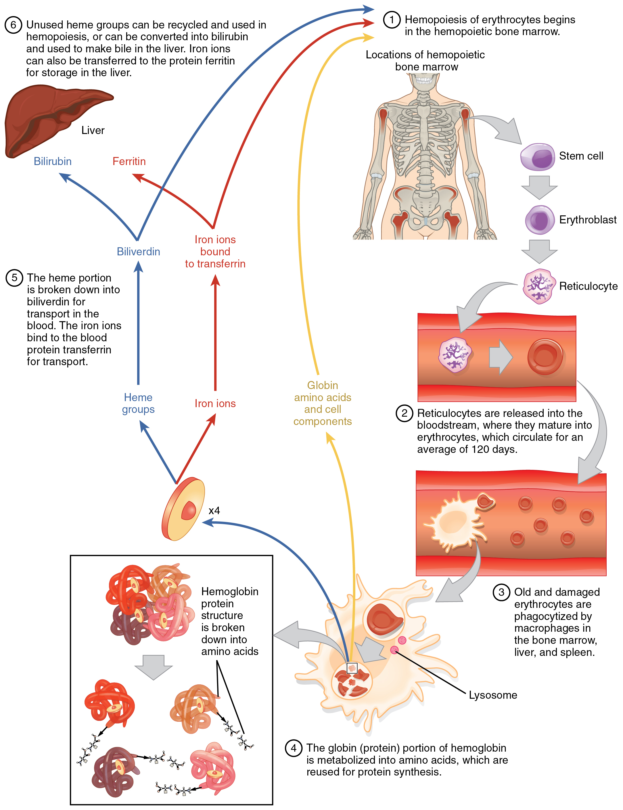 Erythrocytes anatomy and physiology erythrocytes are produced in the bone marrow and sent into the circulation at the end of their lifecycle they are destroyed by macrophages nvjuhfo Image collections
