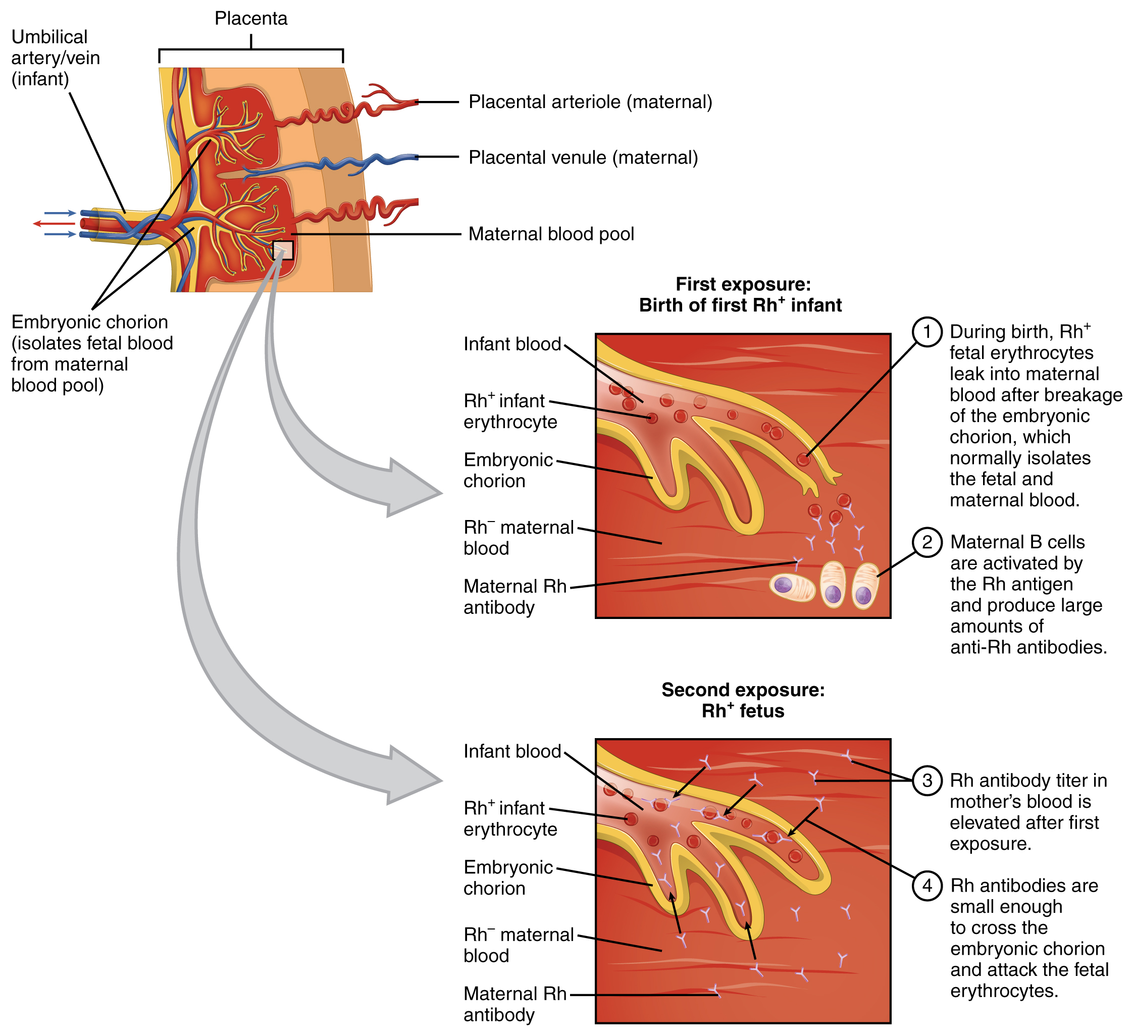 Blood Typing · Anatomy and Physiology
