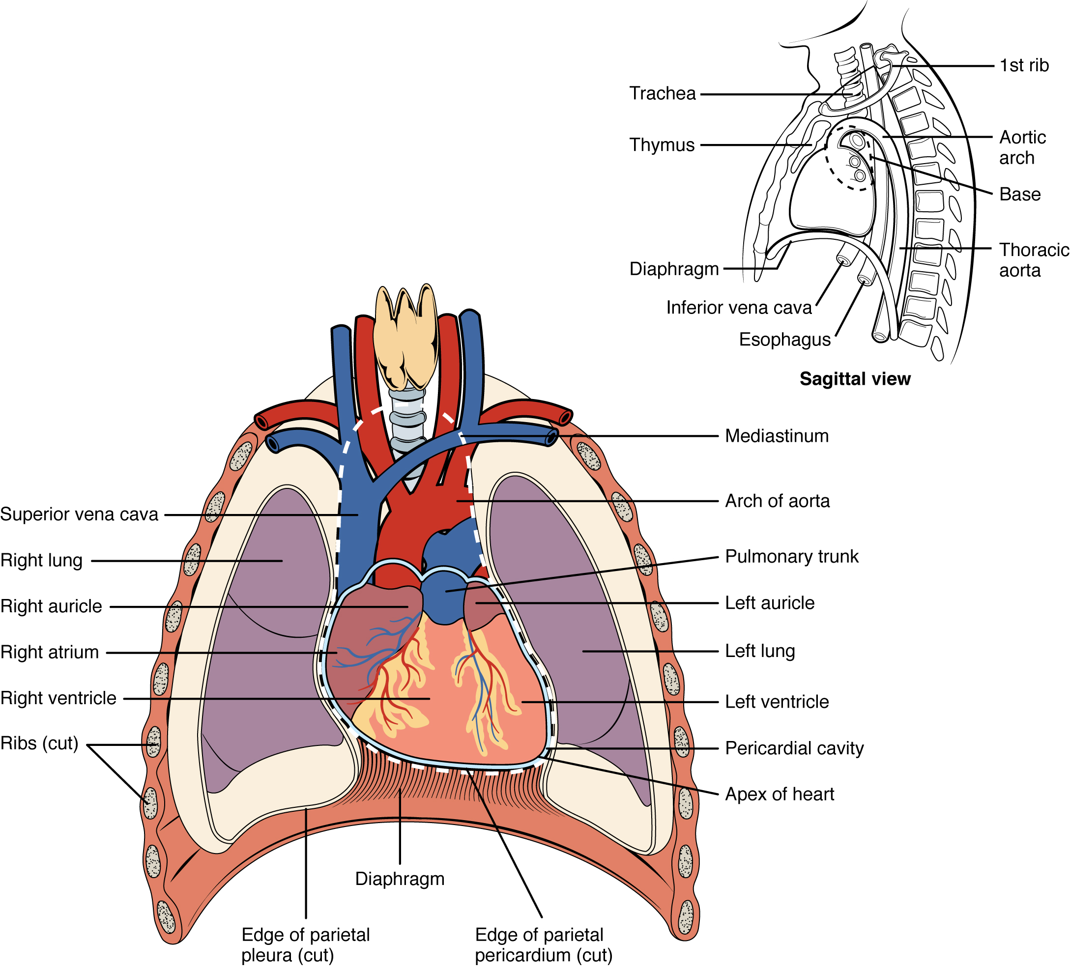 The heart is located within the thoracic cavity  medially between the    Pericardial Cavity Diagram