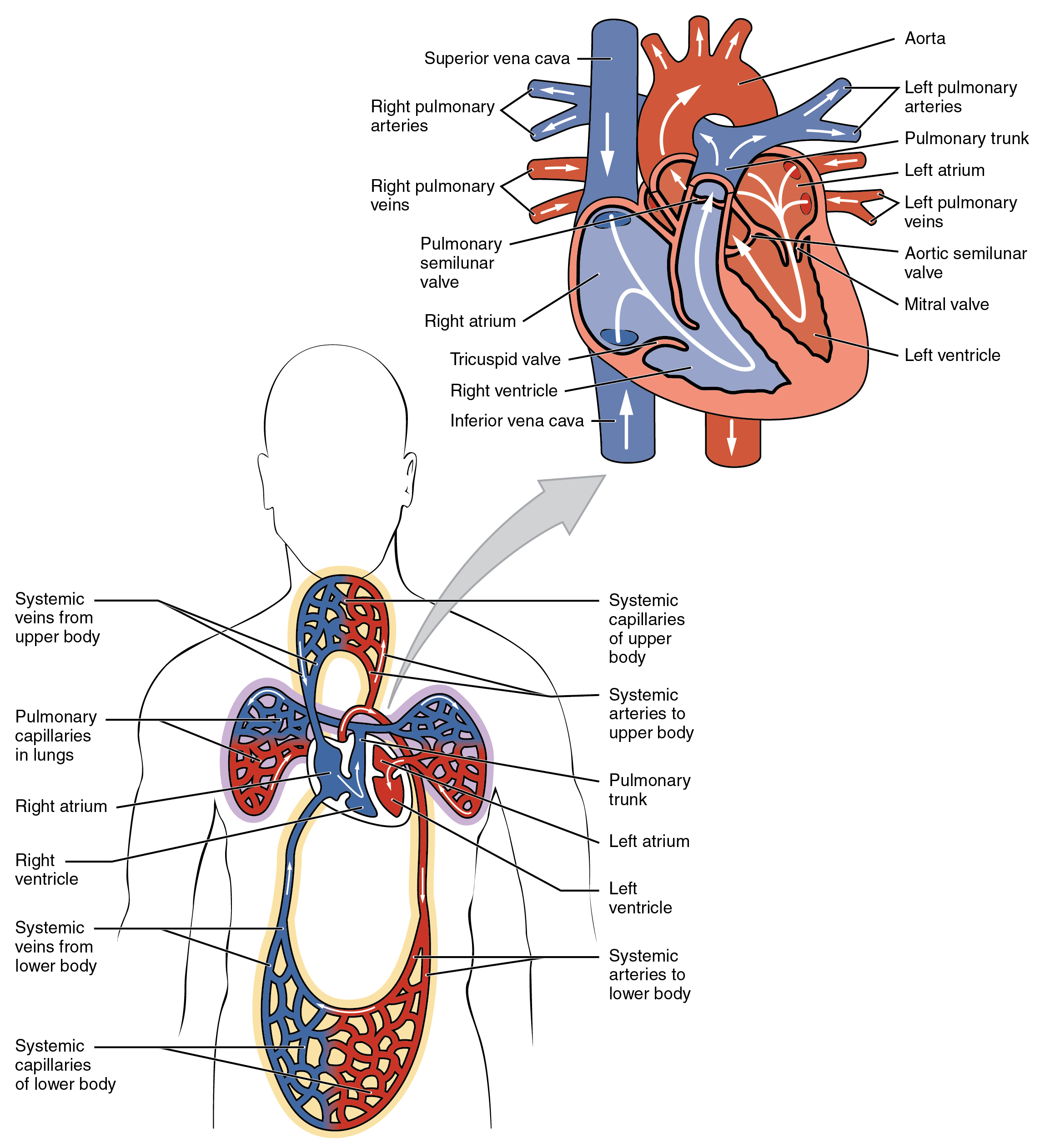 Heart anatomy anatomy and physiology the top panel shows the human heart with the arteries and veins labeled the bottom pooptronica