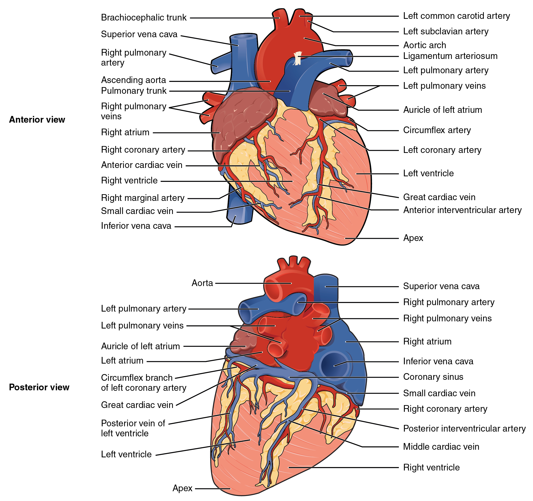 Heart Anatomy Diagram Mi - Block And Schematic Diagrams •