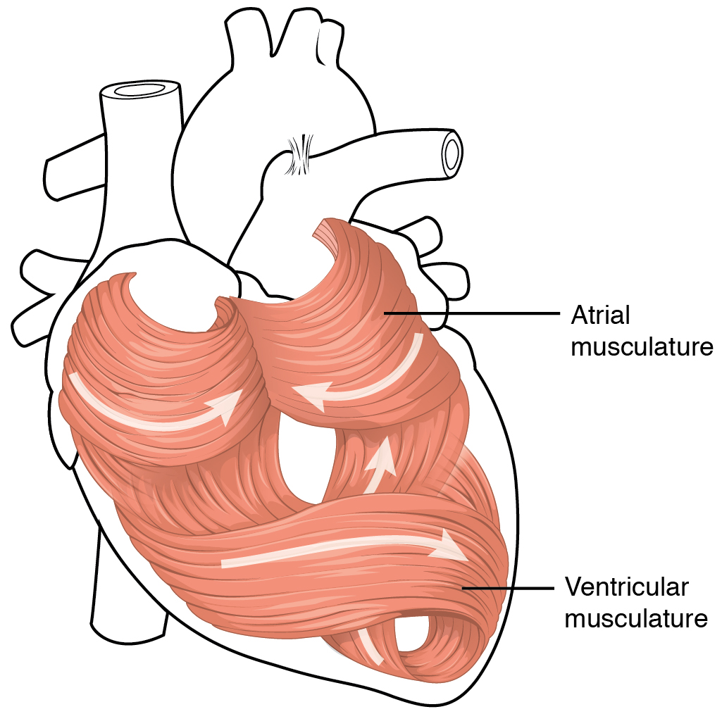Heart anatomy anatomy and physiology the swirling pattern of cardiac muscle tissue contributes significantly to the hearts ability to pump blood effectively ccuart Gallery