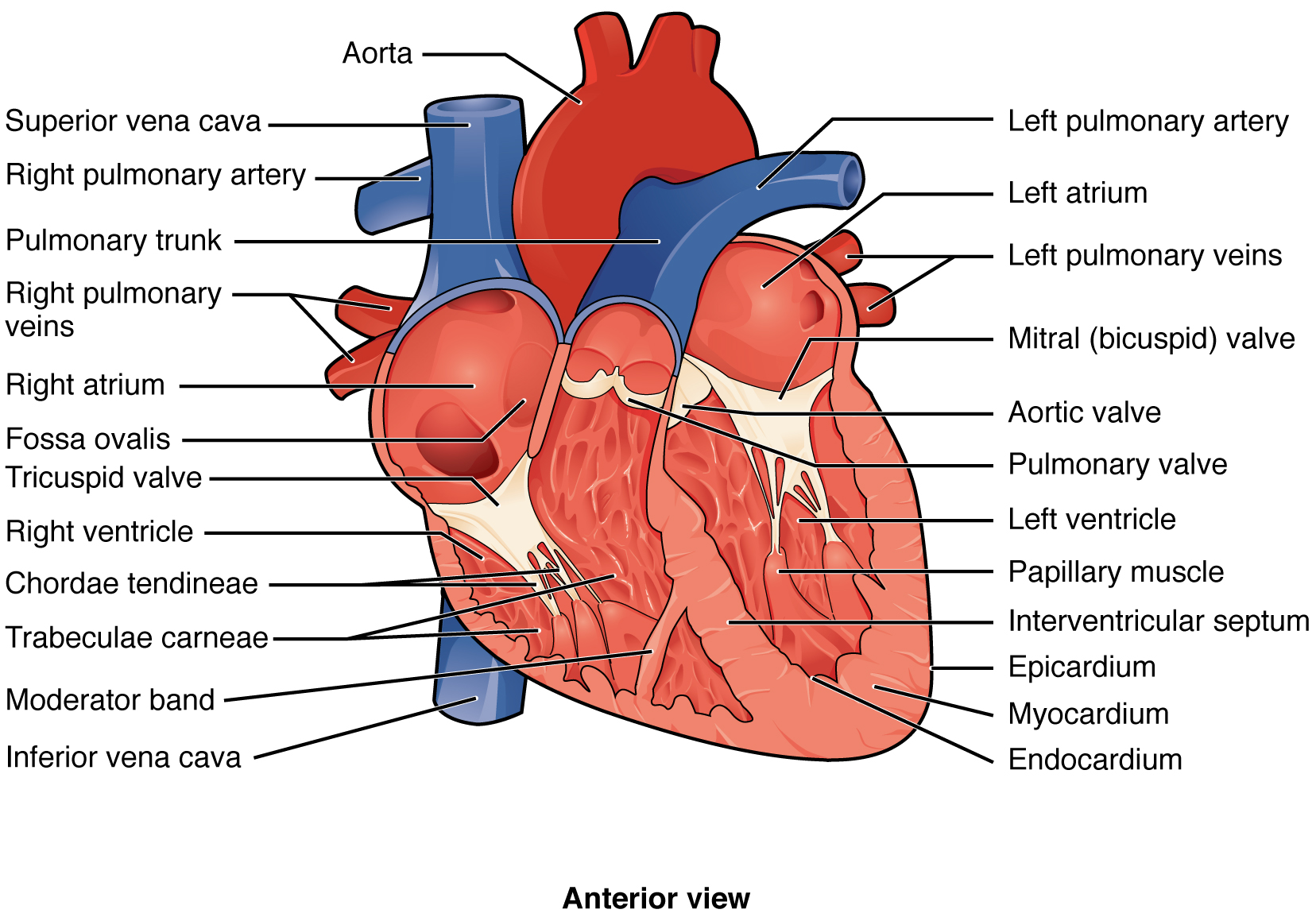 heart anatomy · anatomy and physiology, Cephalic vein
