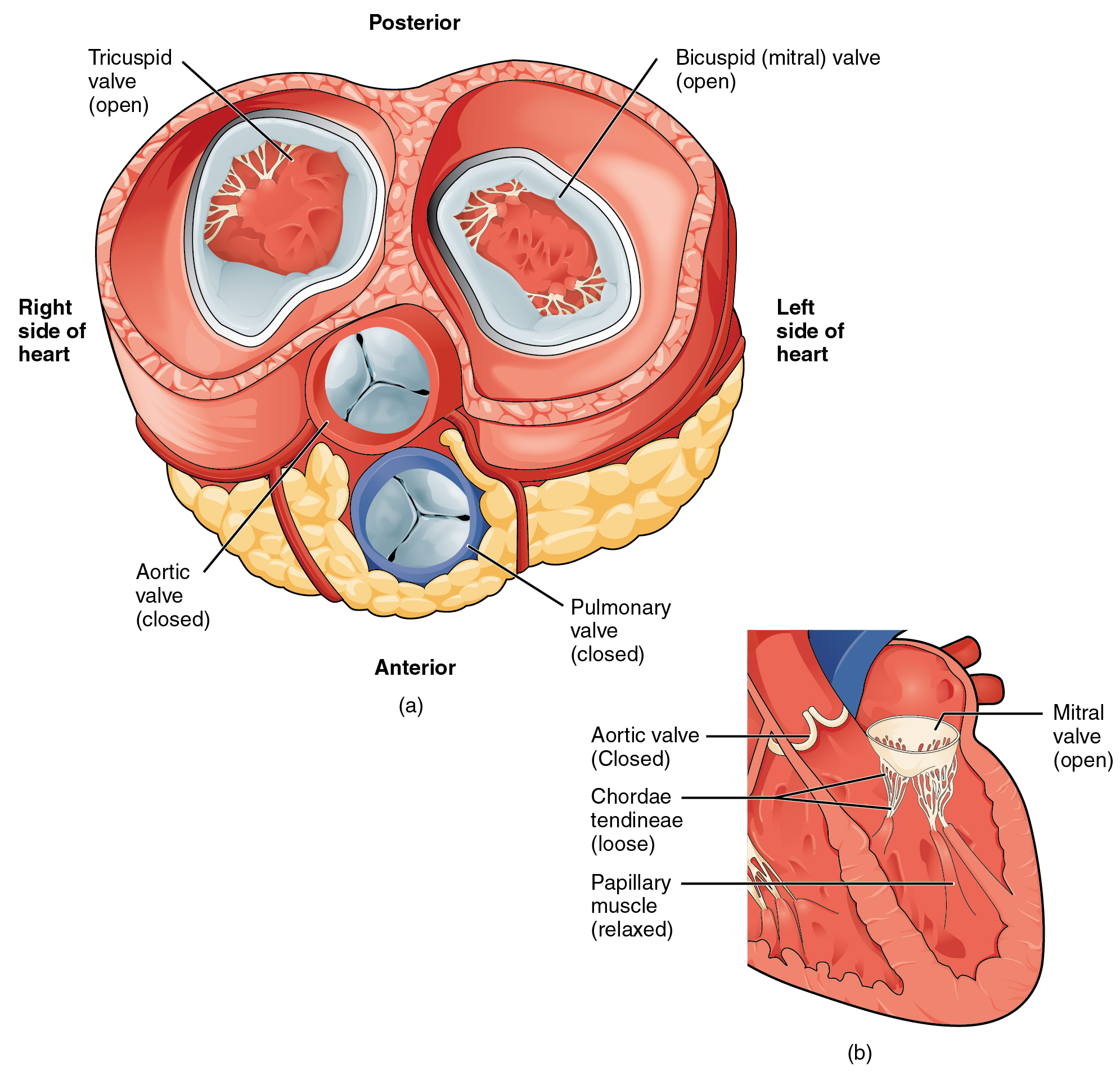 Heart anatomy anatomy and physiology the left panel of this figure shows the anterior view of the heart with the different pooptronica