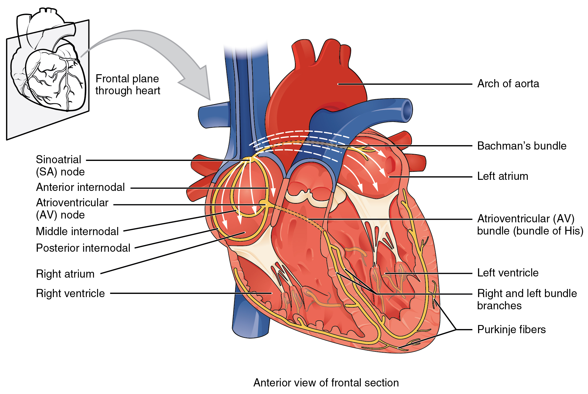 Cardiac muscle and electrical activity anatomy and physiology specialized conducting components of the heart include the sinoatrial node the internodal pathways the atrioventricular node the atrioventricular bundle pooptronica