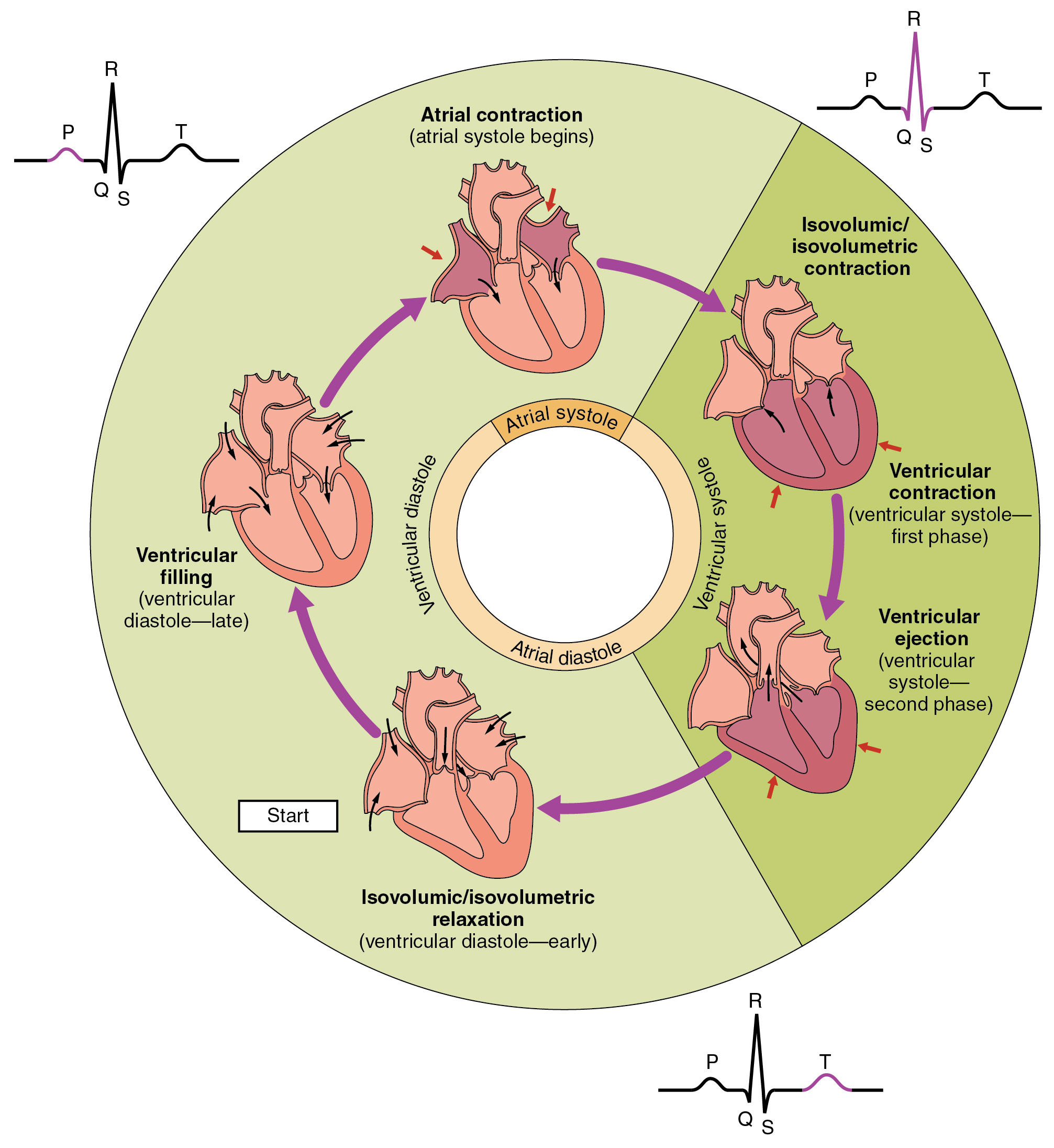 cardiac cycle · anatomy and physiology, Muscles