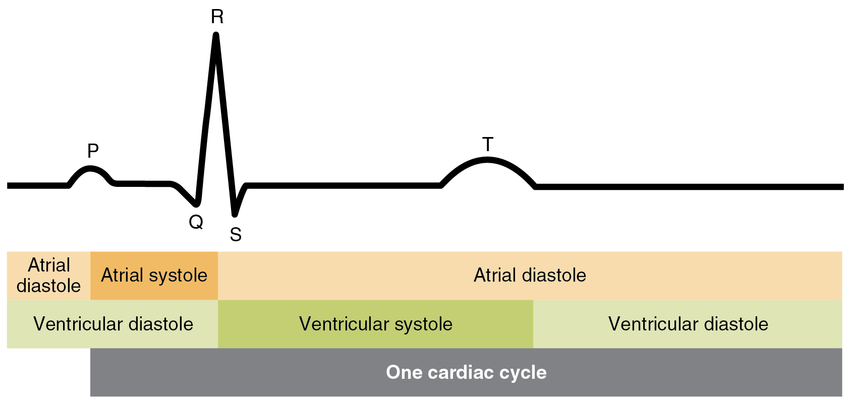 Cardiac cycle anatomy and physiology relationship between the cardiac cycle and ecg pooptronica Images