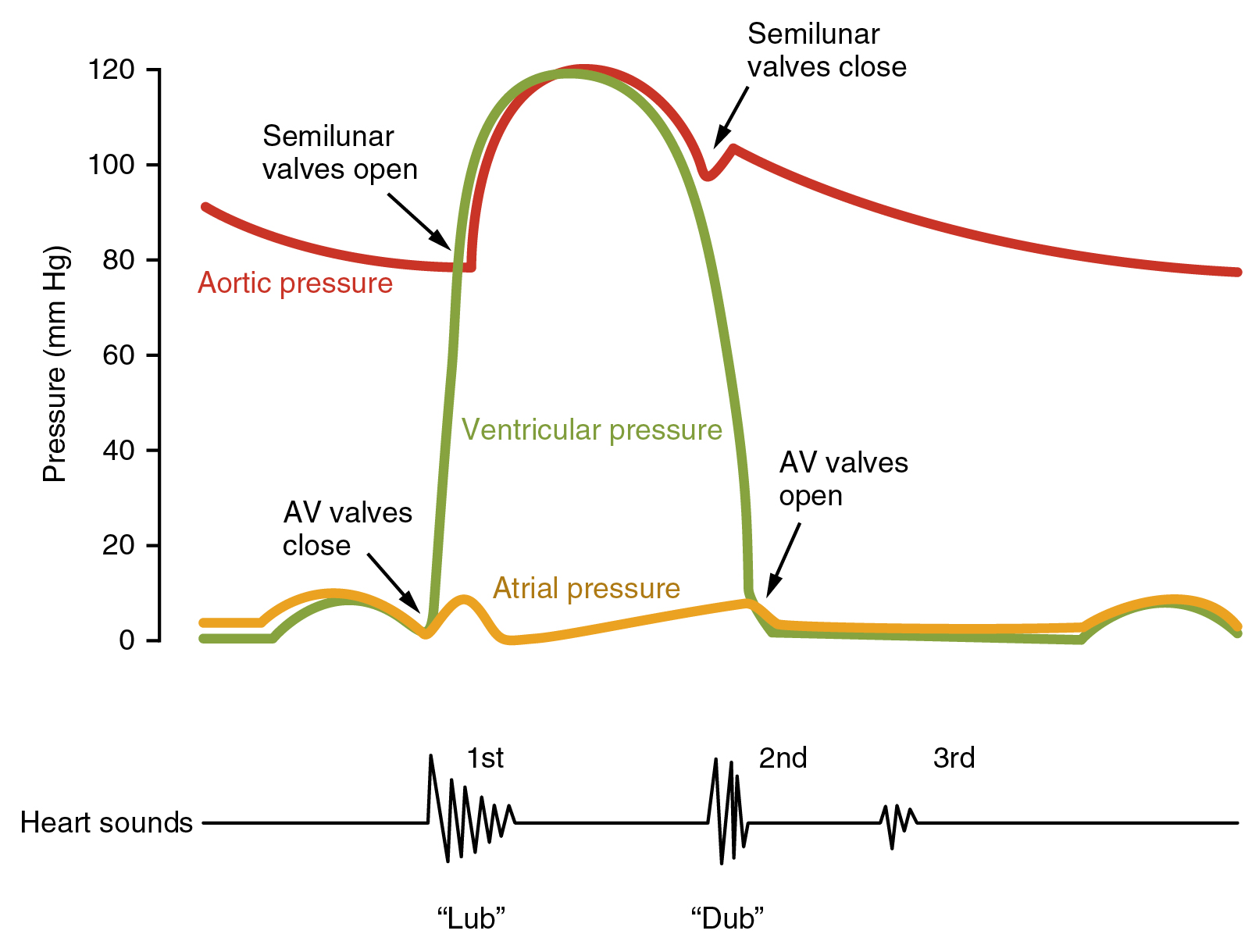 Cardiac cycle anatomy and physiology in this illustration the x axis reflects time with a recording of the heart sounds the y axis represents pressure pooptronica Choice Image