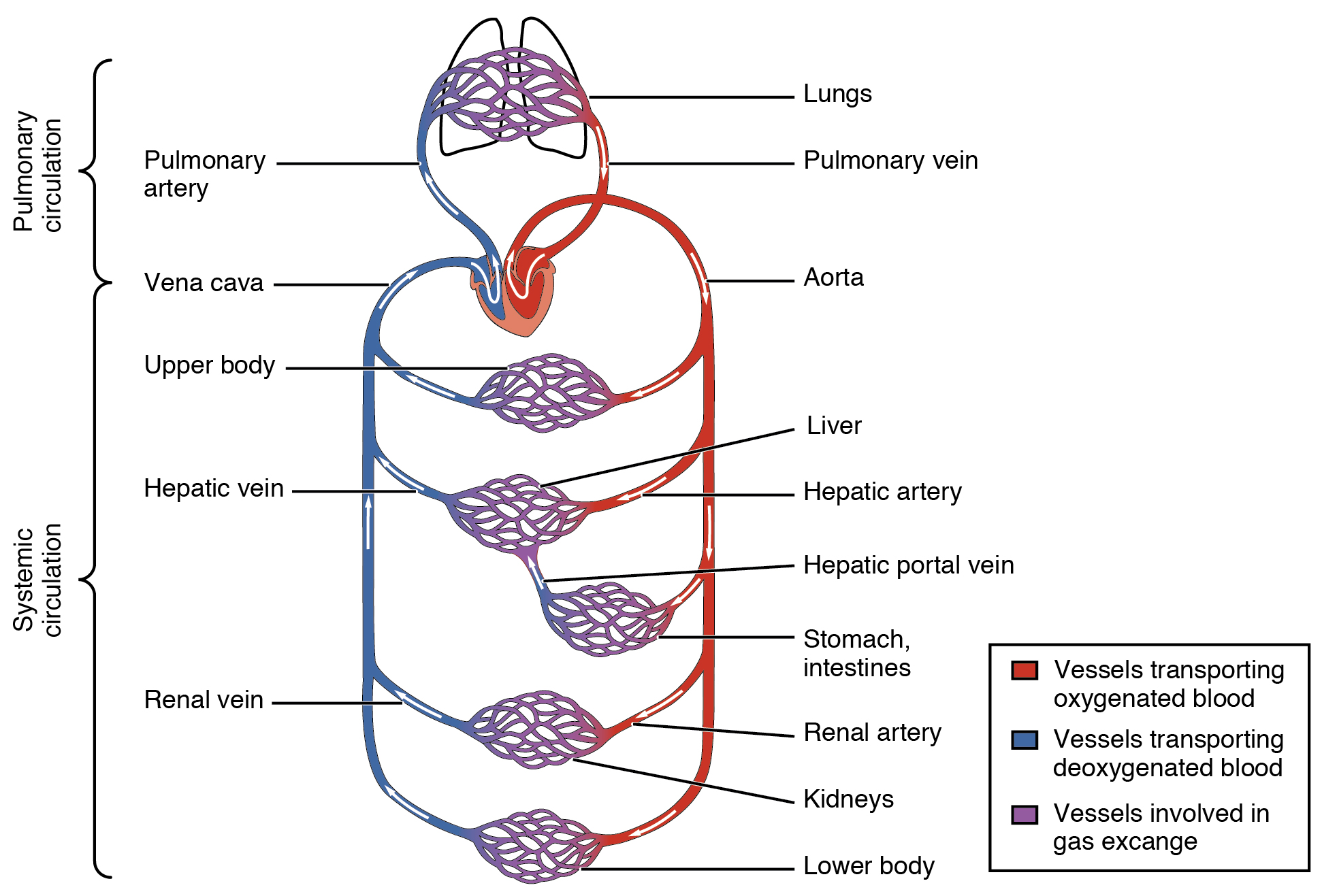 Structure and Function of Blood Vessels Anatomy and Physiology – Blood Flow Through the Heart Worksheet