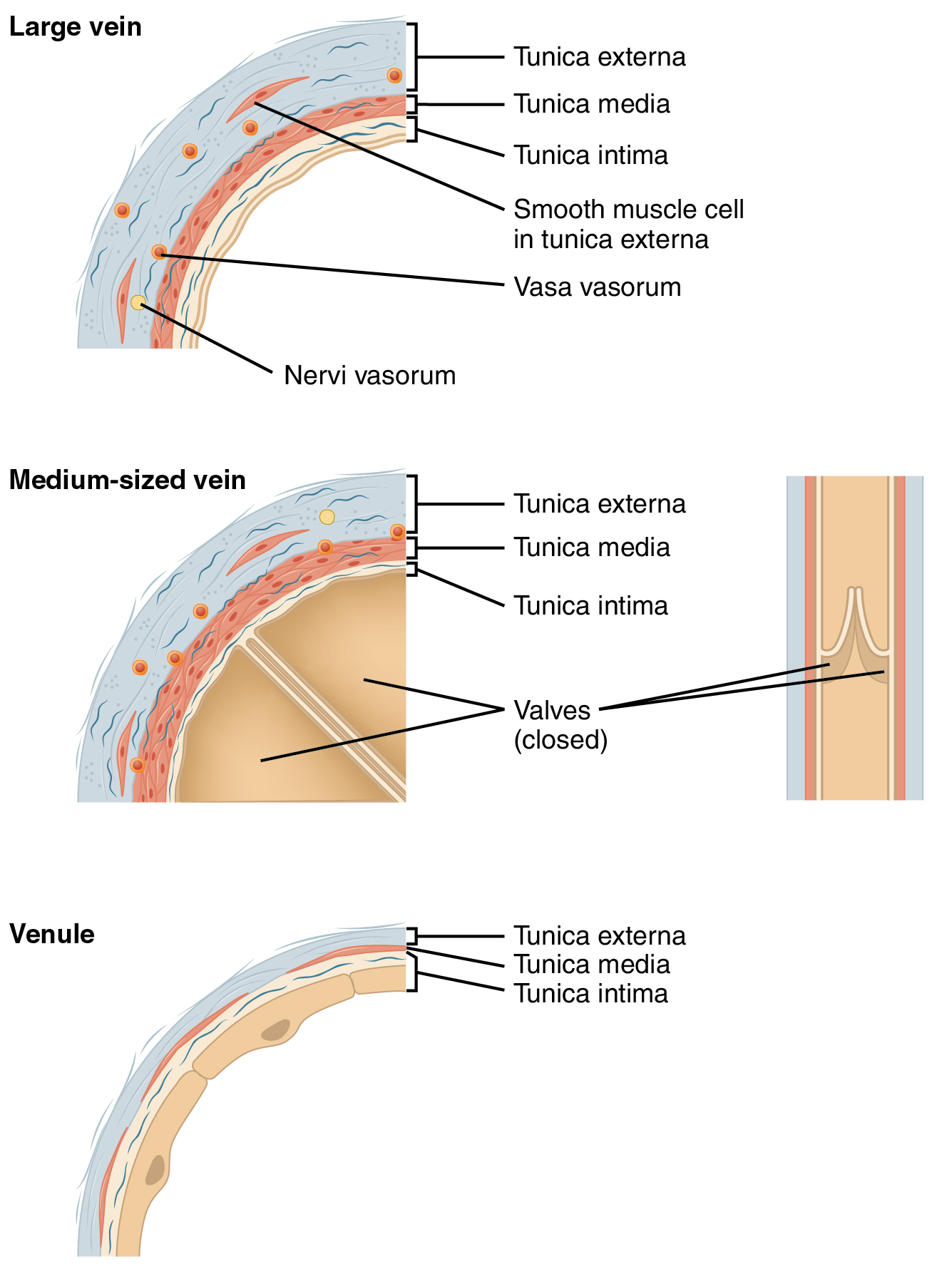 Structure and function of blood vessels anatomy and physiology many veins have valves to prevent back flow of blood whereas venules do not in terms of scale the diameter of a venule is measured in micrometers geenschuldenfo Images