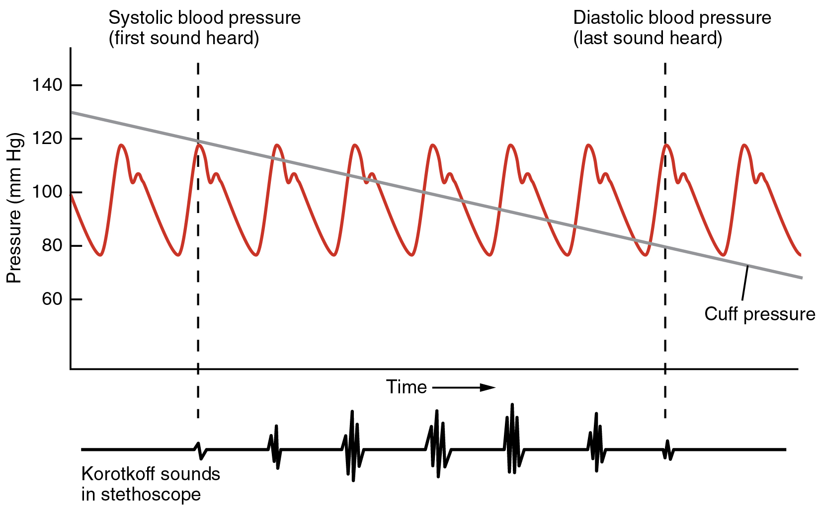 Blood Flow, Blood Pressure, and Resistance · Anatomy and