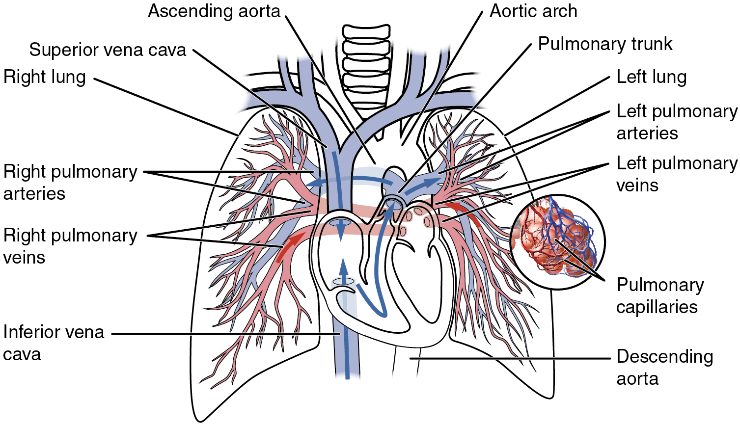 Circulatory pathways anatomy and physiology this diagram shows the network of blood vessels in the lungs pooptronica