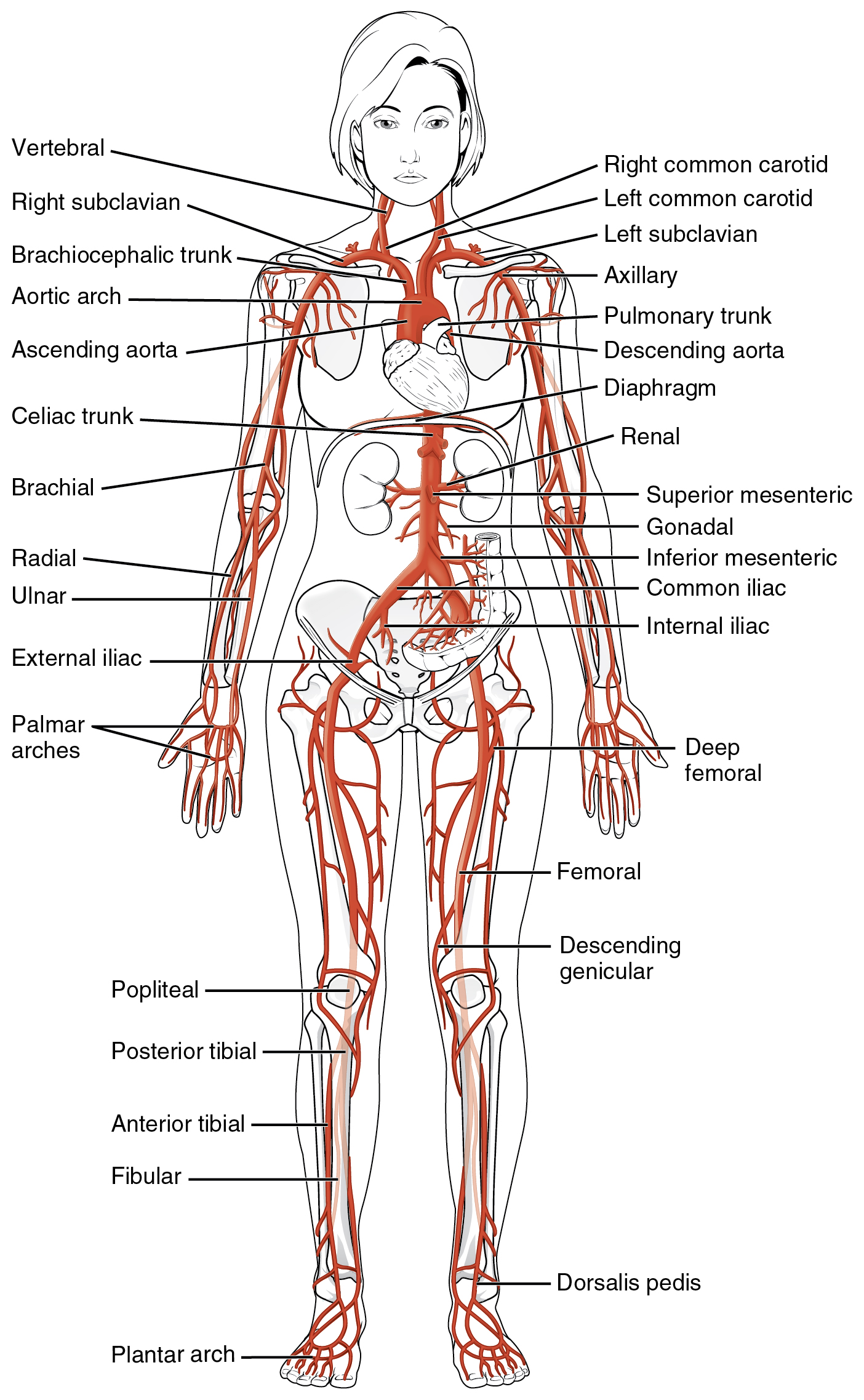 Anatomy Physiology Diagrams Circulatory System - Block And Schematic ...