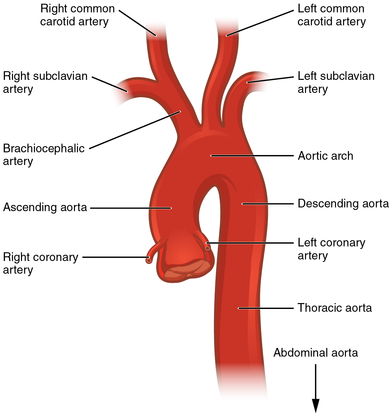 Circulatory Pathways Anatomy And Physiology
