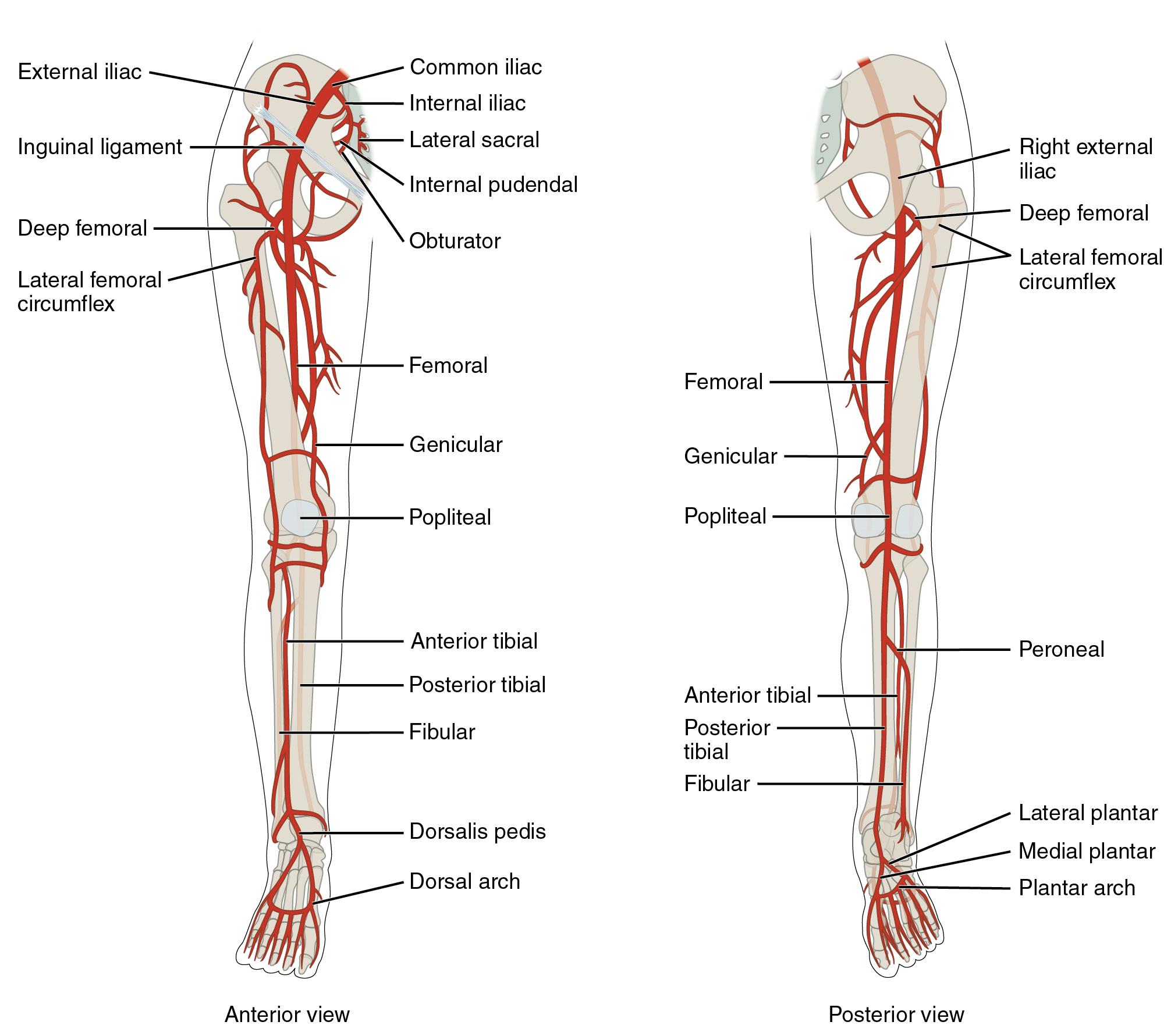 Peroneal Artery Netter