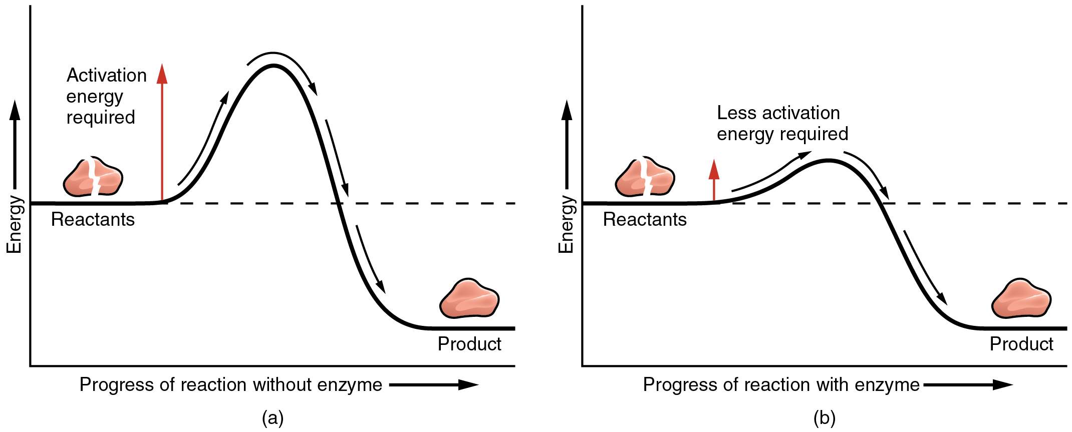 Chemical reactions anatomy and physiology the left panel shows a graph of energy versus progress of reaction in the absence of pooptronica Choice Image