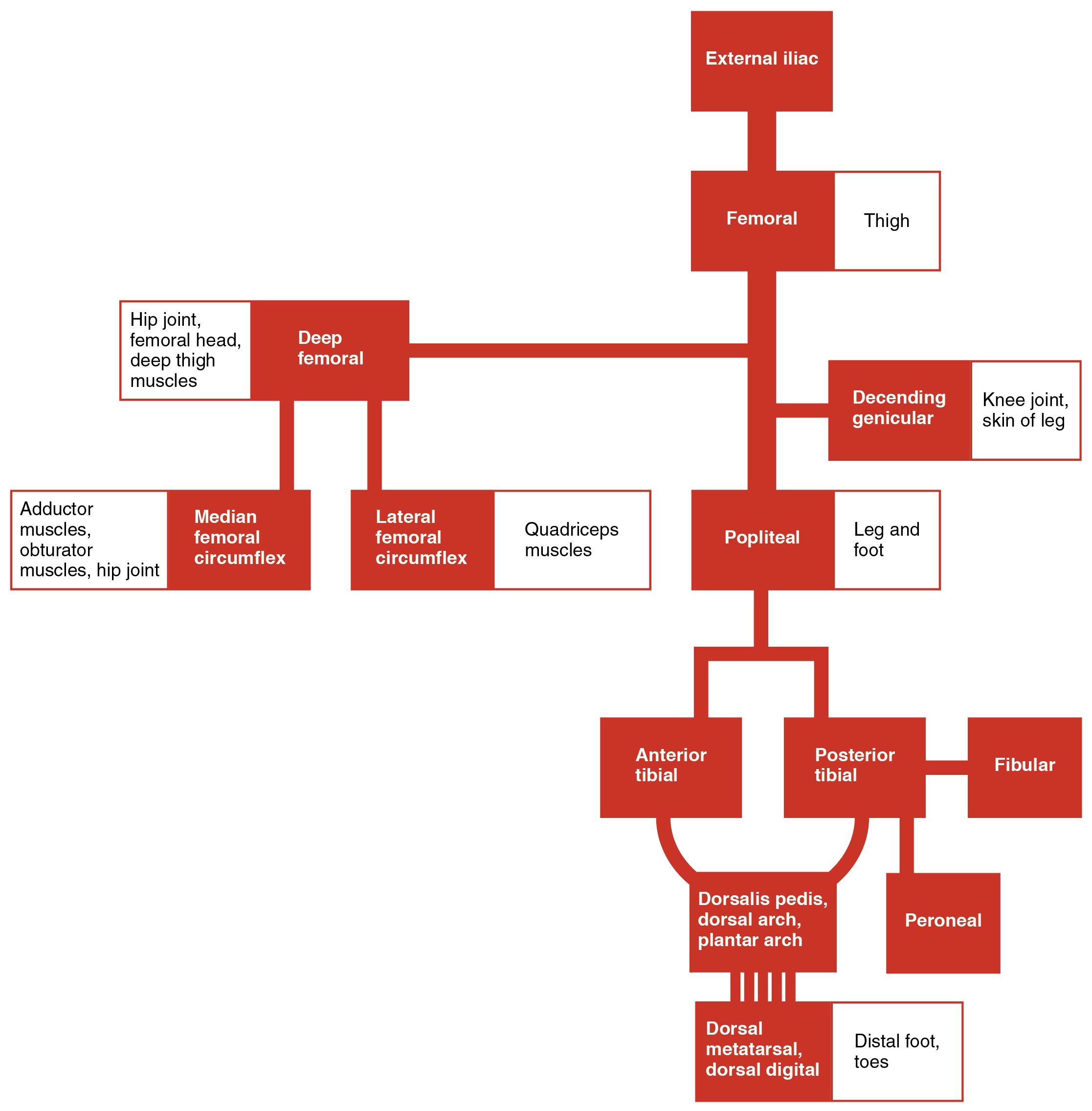 Circulatory pathways anatomy and physiology the flow chart summarizes the distribution of the systemic arteries from the external iliac artery into the lower limb ccuart Image collections