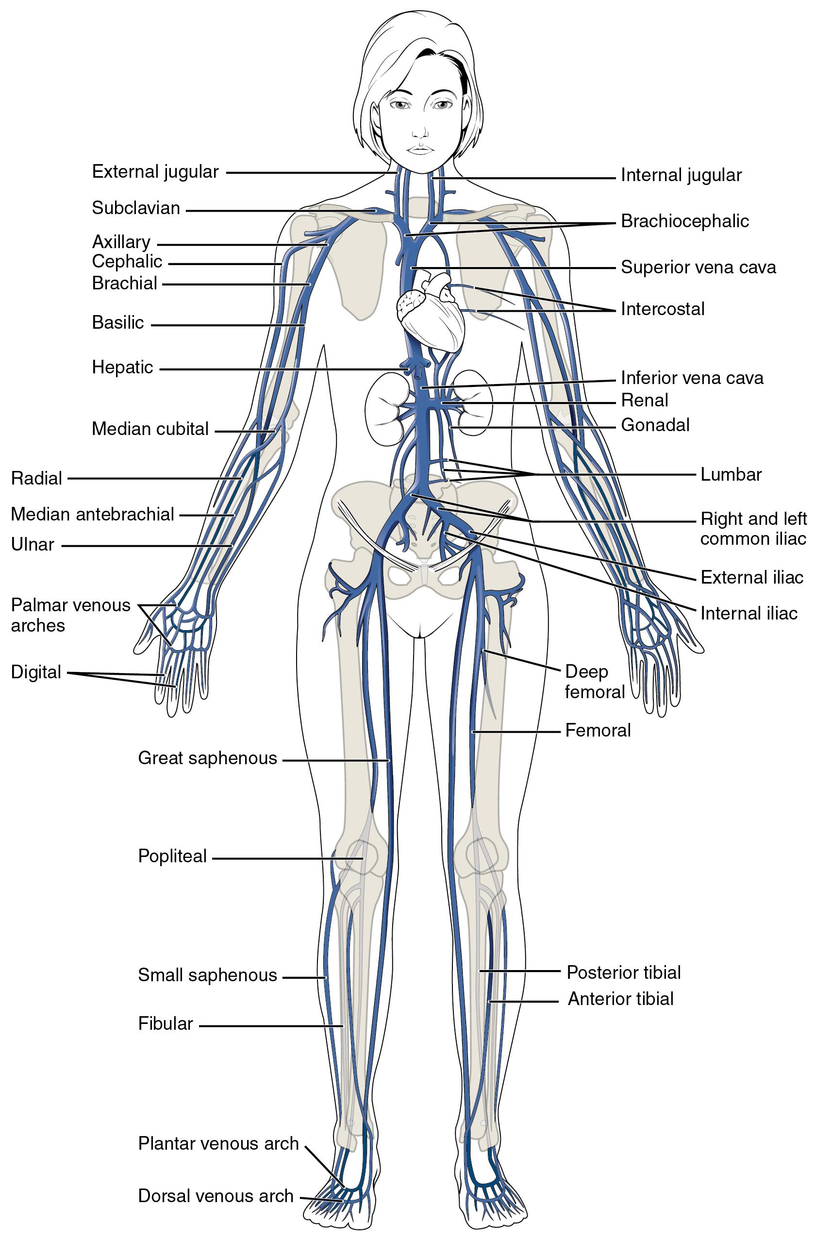 Circulatory Pathways  U00b7 Anatomy And Physiology