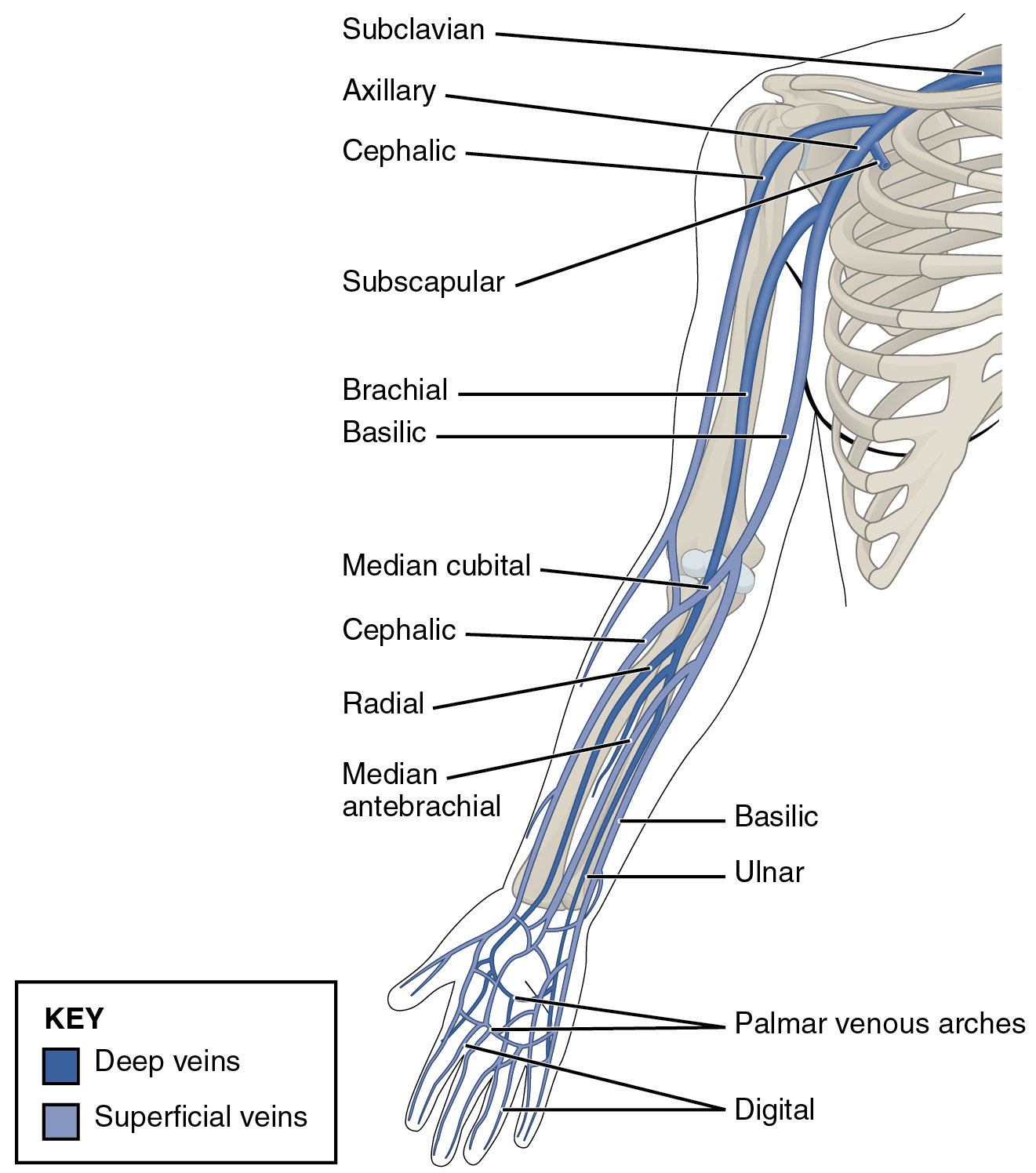 Muscles Of The Shoulder And The Upper Arm Online Medical Library
