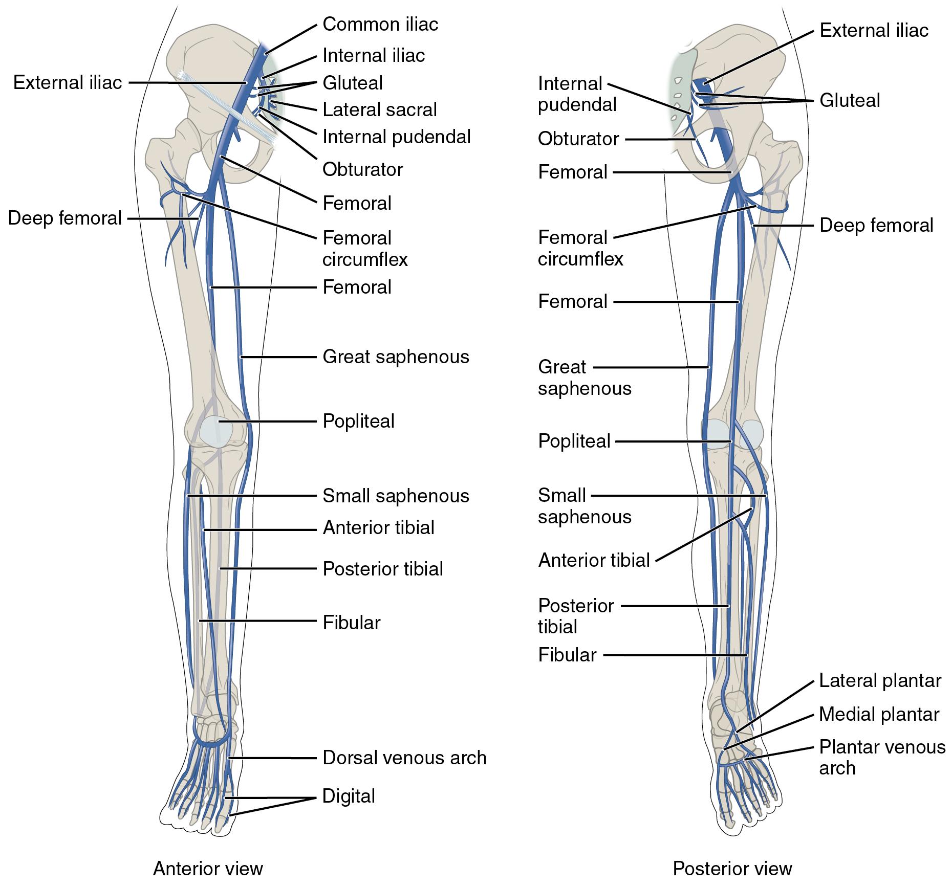 Circulatory Pathways · Anatomy and Physiology