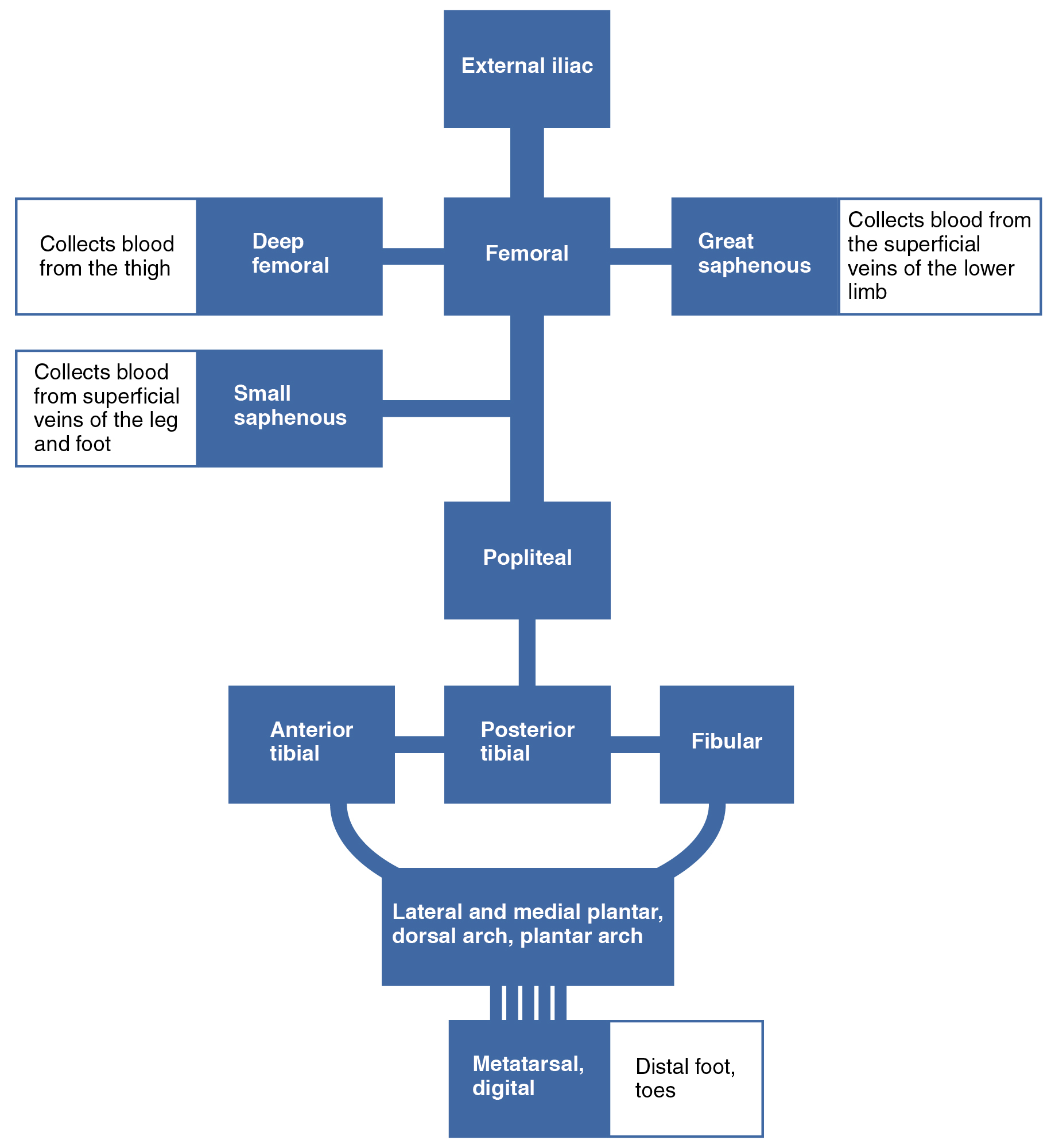 Circulatory pathways anatomy and physiology the flow chart summarizes venous flow from the lower limb nvjuhfo Gallery
