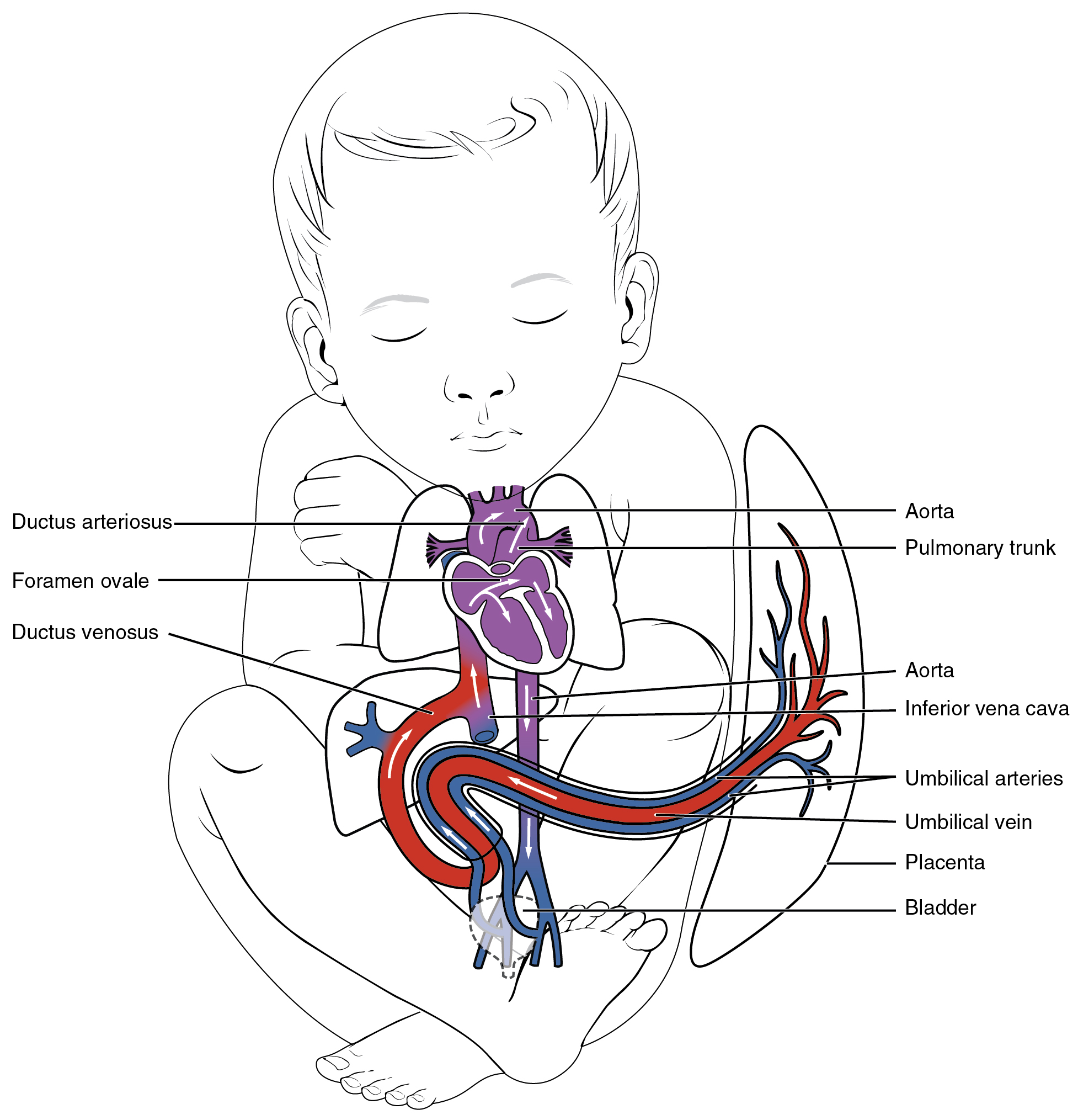 Development of Blood Vessels and Fetal Circulation · Anatomy and ...