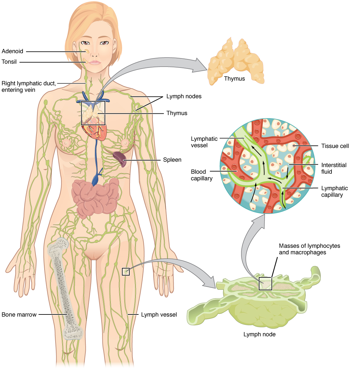 Anatomy of the lymphatic and immune systems anatomy and physiology lymphatic vessels in the arms and legs convey lymph to the larger lymphatic vessels in the torso ccuart Choice Image