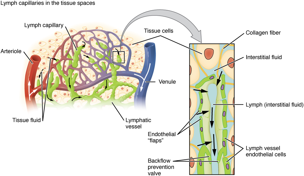 Anatomy of the Lymphatic and Immune Systems · Anatomy and Physiology
