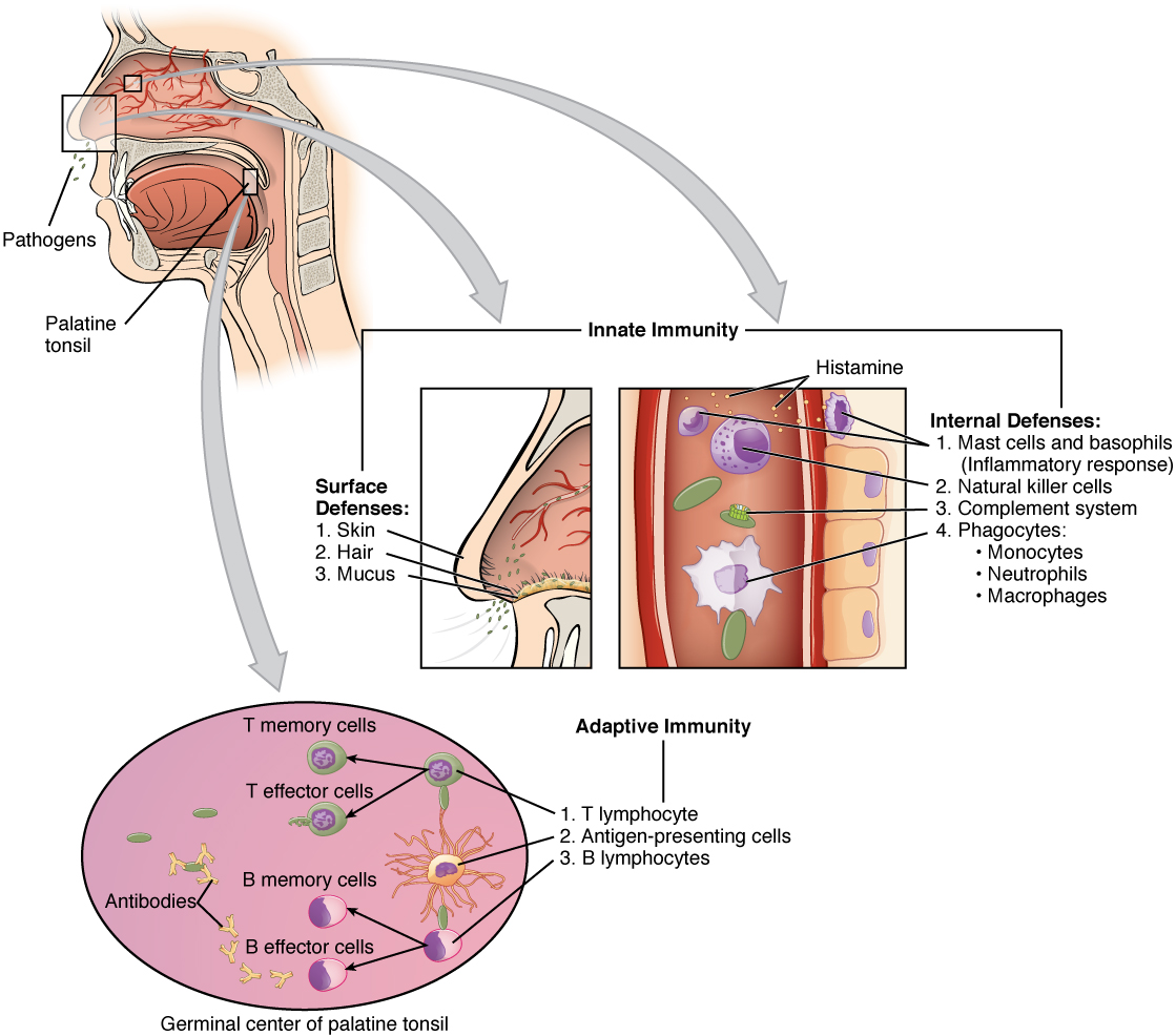 Integumentary Diagram Immunity - Block And Schematic Diagrams •