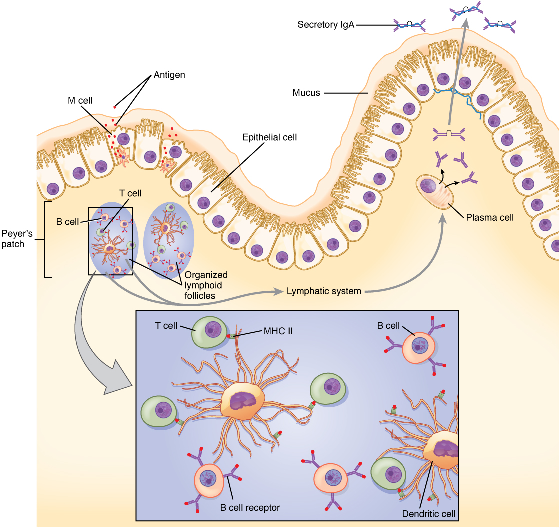 The Immune Response against Pathogens · Anatomy and Physiology