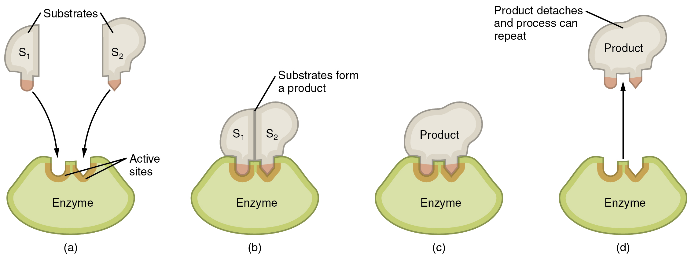 Diagram Enzyme Substrate Complex