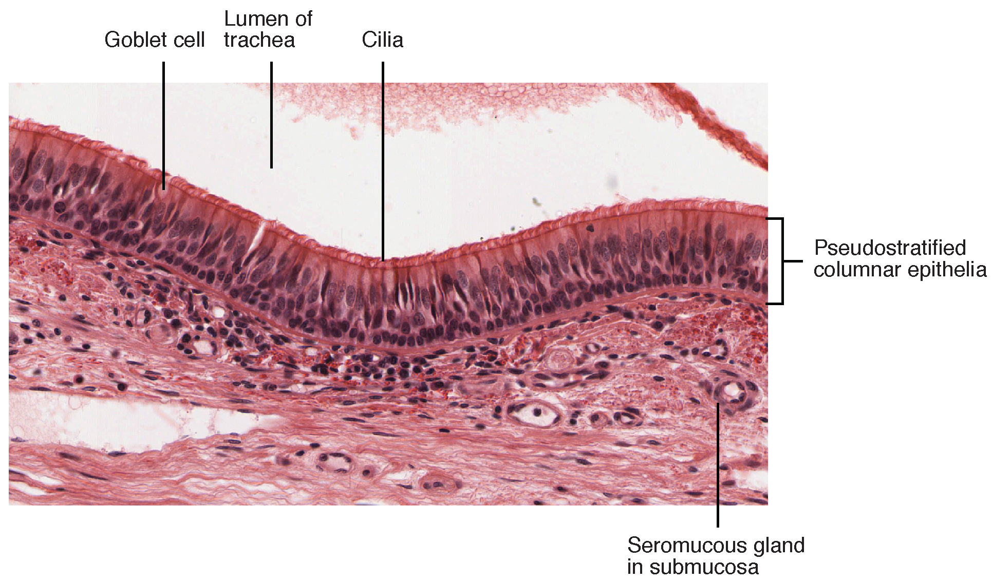 epithelial tissue structure
