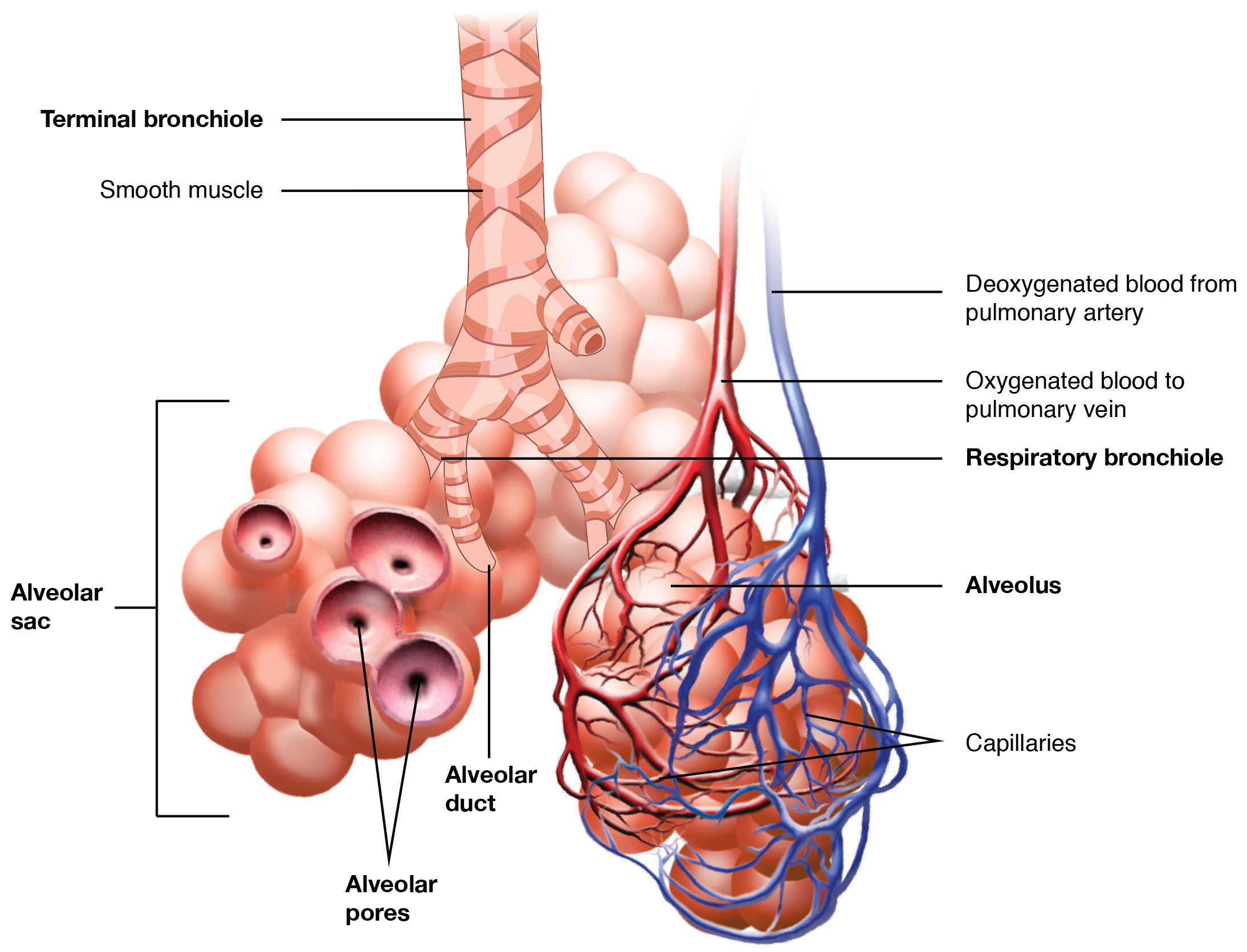 Organs and Structures of the Respiratory System · Anatomy and Physiology
