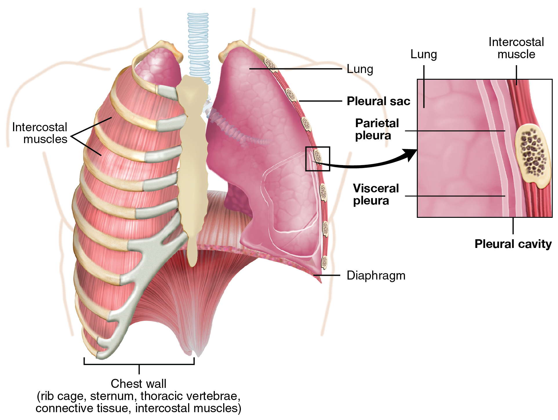 The lungs anatomy and physiology this figure shows the lungs and the chest wall which protects the lungs in ccuart Images