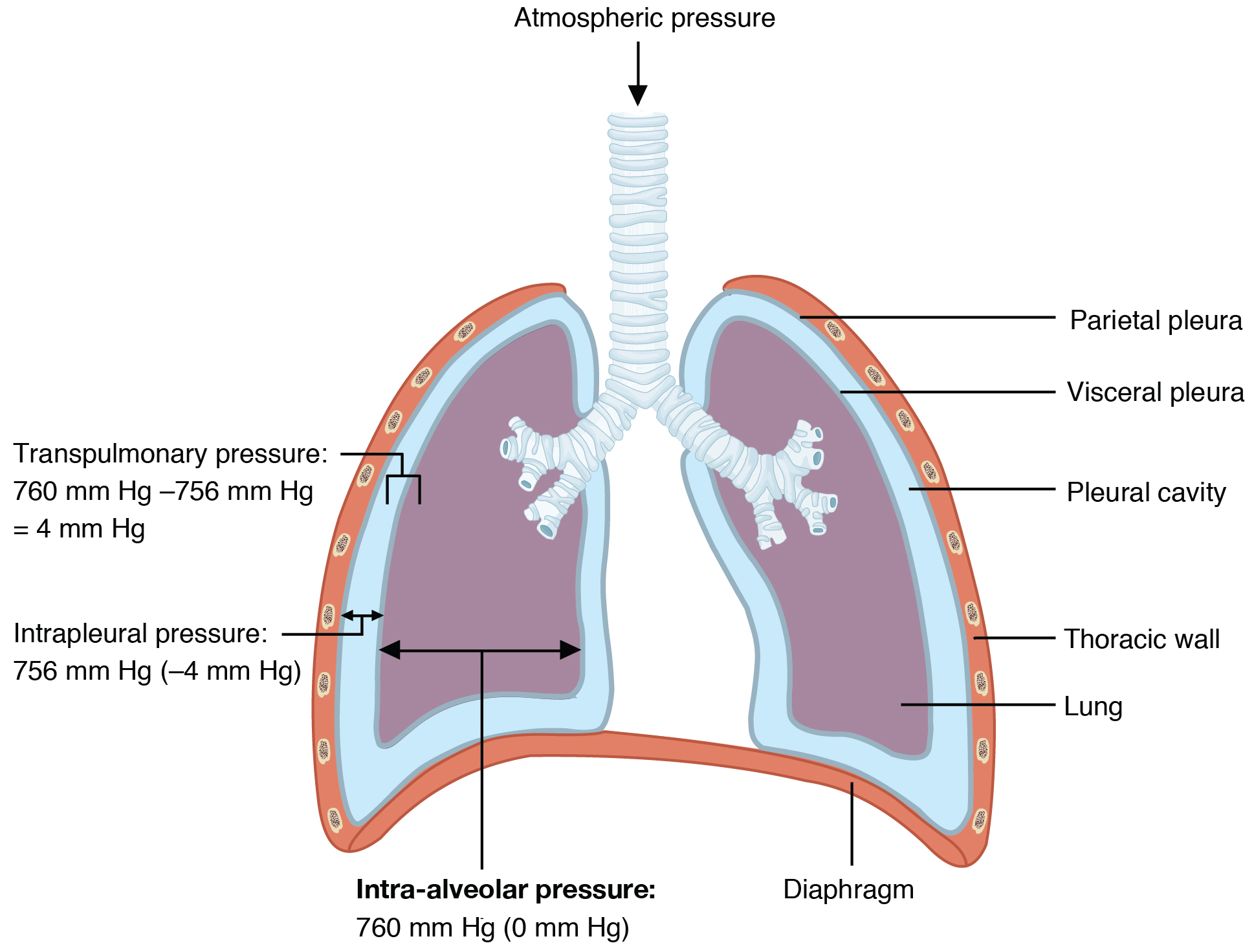the process of breathing · anatomy and physiology