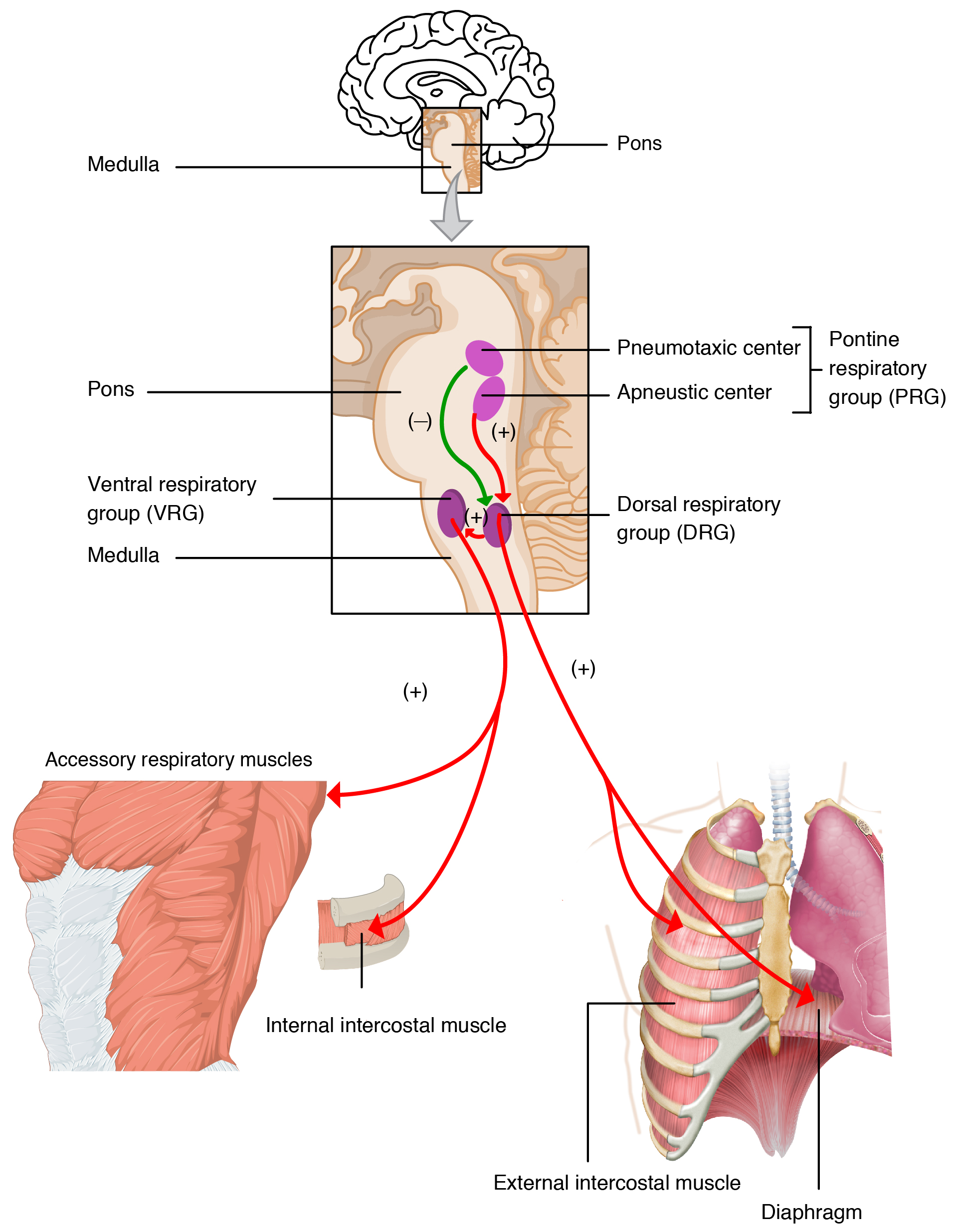 The Process Of Breathing Anatomy And Physiology