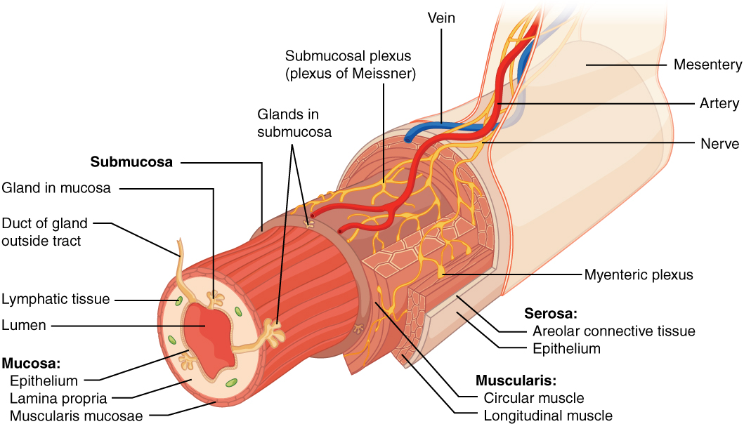 Overview Of The Digestive System Anatomy And Physiology