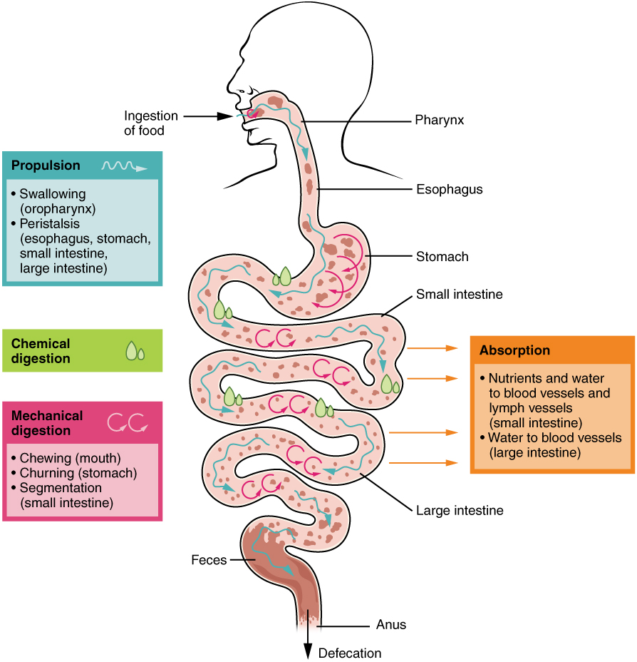 the human digestive process Webmd explains the digestive system or waste left over from the digestive process (human anatomy): picture.