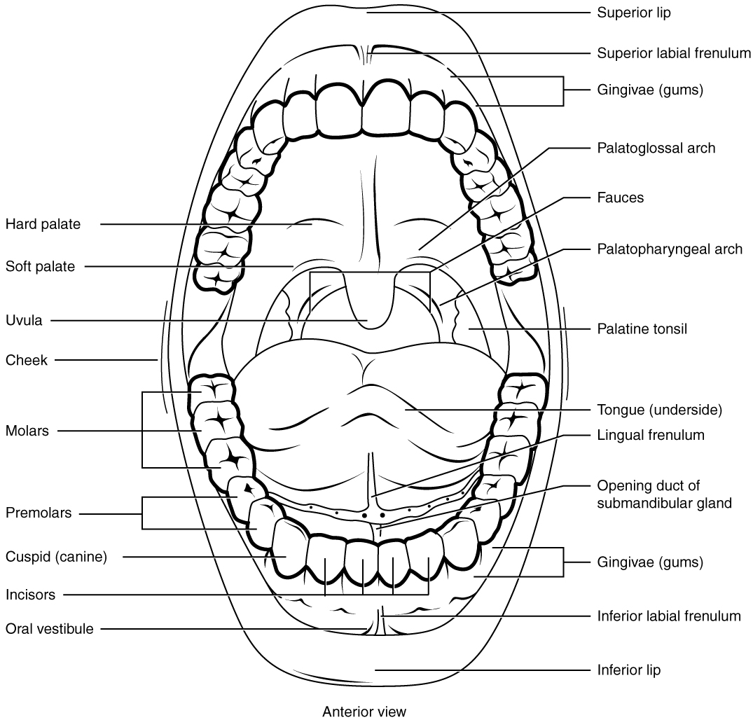 structure of the mouth.
