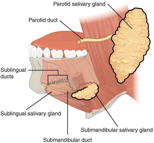 The Mouth Pharynx And Esophagus Anatomy And Physiology