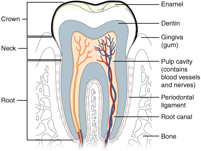 The mouth pharynx and esophagus anatomy and physiology this longitudinal section through a molar in its alveolar socket shows the relationships between enamel dentin and pulp ccuart Image collections