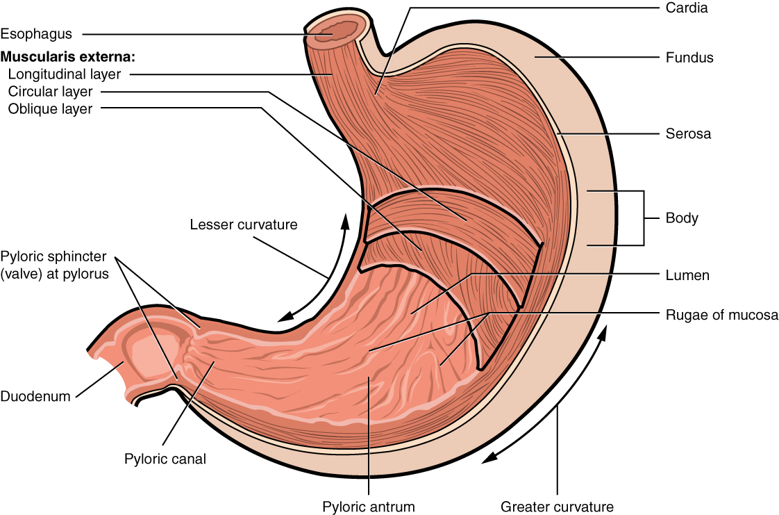 The stomach anatomy and physiology the stomach has four major regions the cardia fundus body and pylorus the addition of an inner oblique smooth muscle layer gives the muscularis the ccuart Image collections