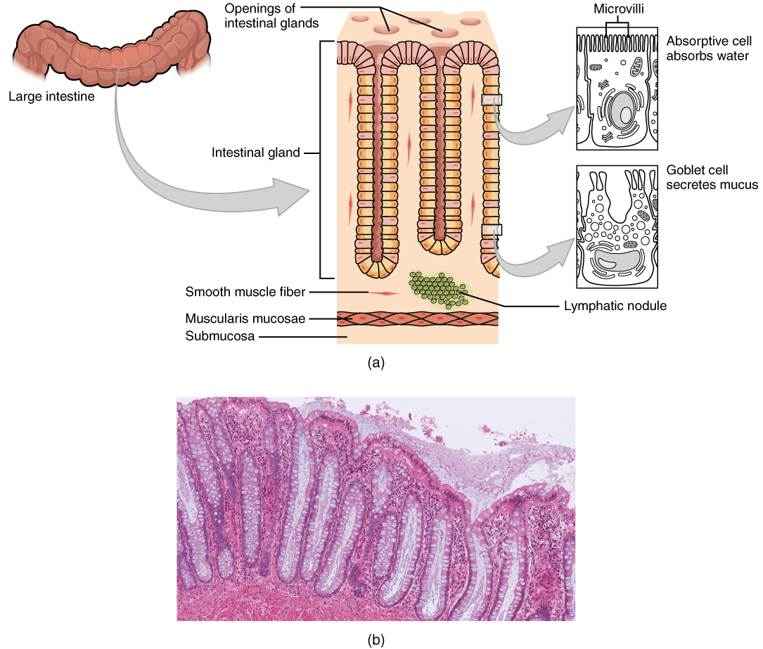 the small and large intestines anatomy and physiology