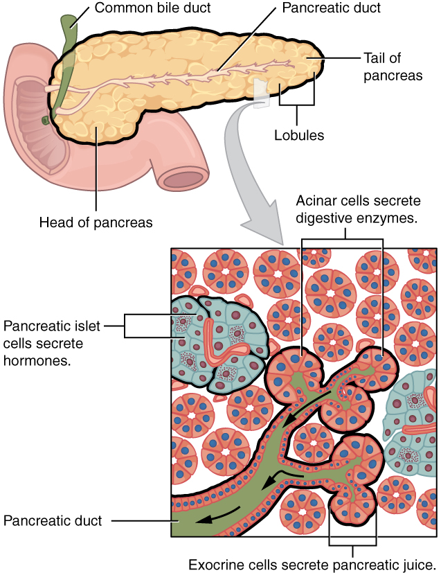 Accessory Organs In Digestion The Liver Pancreas And Gallbladder