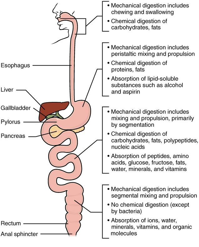 chemical digestion and absorption: a closer look · anatomy and, Cephalic Vein
